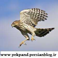 پرواز شاهین